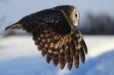 Female Great grey owl (Strix nebulosa) in flight, Oulu, Finland, February 2009  -  WWE/ Zacek/ npl