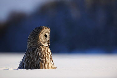 Female Great grey owl (Strix nebulosa) in snow, Oulu, Finland, February 2009  -  WWE/ Zacek/ npl