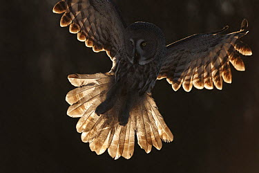 Backlit female Great grey owl (Strix nebulosa) landing, Oulu, Finland, February 2009  -  WWE/ Zacek/ npl