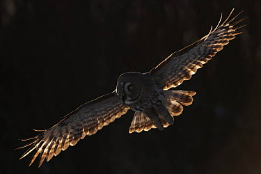 Female Great grey owl (Strix nebulosa) in flight, Oulu, Finland, February 2009  -  WWE/ Zacek/ npl