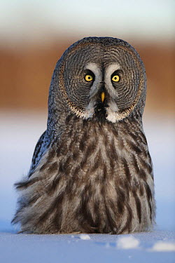Female Great grey owl (Strix nebulosa) in snow, portrait, Oulu, Finland, February 2009  -  WWE/ Zacek/ npl