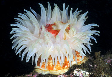 Sea anemone (Urticina eques) Kristiansund, Nordm�re, Norway, March 2009  -  WWE/ Aukan/ npl