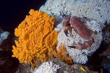 Edible crab (Cancer pagurus) climbing on a deep water Coral (Lophelia pertusa) near Fan coral (Paramuricea placomus) Trondheimsfjorden, Norway, February 2009  -  WWE/ Lundgren/ npl