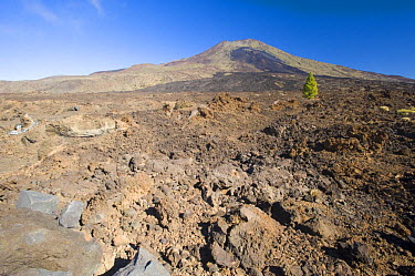 Single Canary pine tree (Pinus canariensis) growing in lava field of the Pico Viejo Volcano, Teide National Park, Tenerife, Canary Islands, Spain, December 2008  -  WWE/ Relanzon/ npl