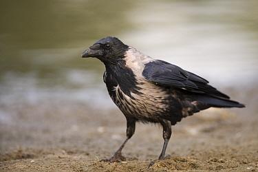 Hooded Crow (Corvus corone coronix) Elbe Biosphere Reserve, Lower Saxony, Germany, September 2008  -  WWE/ Damschen/ npl