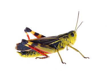 Grasshopper (Arcyptera fusca) Fliess, Naturpark Kaunergrat, Tirol, Austria, July 2008  -  WWE/ Benvie/ npl