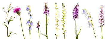 Meadow flowers, Fleabane (Erigeron sp) Thistle, Bearded bellfower (Campanula barbata) Common spotted orchid (Dactylorhiza, fuchsii) Common twayblade (Listera ovata) Fragrant orchid (Gymnadenia conopse...  -  WWE/ Benvie/ npl