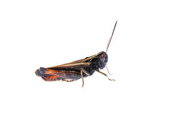 Grasshopper (Omocestus rufipes) Fliess, Naturpark Kaunergrat, Tirol, Austria, July 2008  -  WWE/ Benvie/ npl