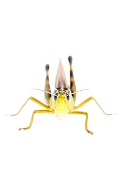 Grasshopper (Arcyptera fusca) male, Fliess, Naturpark Kaunergrat, Tirol, Austria, July 2008  -  WWE/ Benvie/ npl