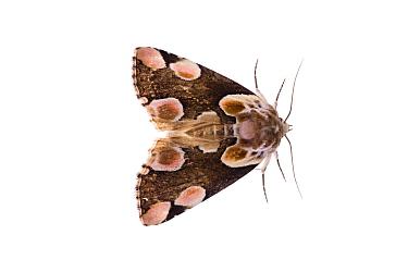 Peach blossom moth (Thyatria batis) Fliess, Naturpark Kaunergrat, Tirol, Austria, July 2008 NOT AVAILABLE FOR GREETING CARDS OR CALENDARS WWE OUTDOOR EXHIBITION  -  WWE/ Benvie/ npl