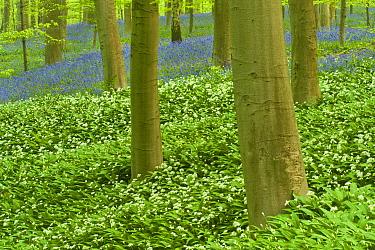 Wild garlic (Allium ursinum) and Bluebell (Hyacinthoides non-scripta, Endymion non-scriptum) carpet in Beech wood, Hallerbos, Belgium, April 2009  -  WWE/ Biancarelli/ npl