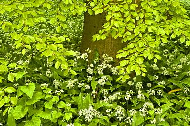 European beech tree (Fagus sylvatica) and undergrowth including Wild garlic (Allium ursinum) Hallerbos, Belgium, April 2009  -  WWE/ Biancarelli/ npl