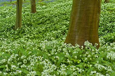 Wild garlic (Allium ursinum) flowering in Beech wood, Hallerbos, Belgium, April 2009  -  WWE/ Biancarelli/ npl