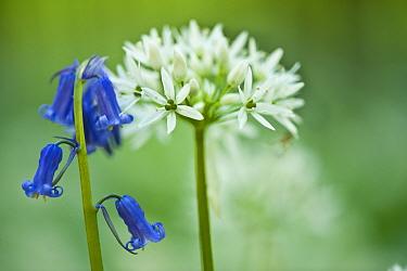 Wild garlic (Allium ursinum) and Bluebell (Hyacinthoides non-scripta, Endymion non-scriptum) in flower, Beech wood, Hallerbos Belgium, April 2009  -  WWE/ Biancarelli/ npl