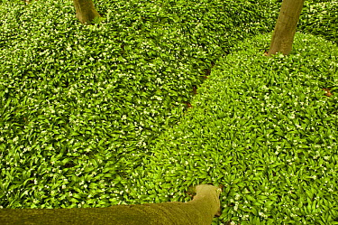 Bird's eye perspective of the forest floor carpeted with Wild garlic (Allium ursinium) Hallerbos, Belgium, April 2009  -  WWE/ Biancarelli/ npl