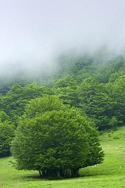 European beech (Fagus sylvatica) forest with mist over trees, Pollino National Park, Basilicata, Italy, June 2009  -  WWE/ Muller/ npl