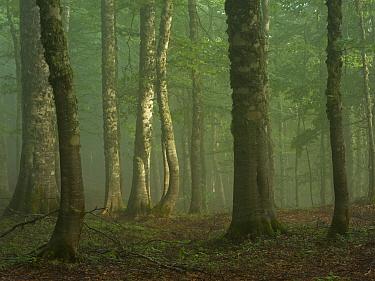 European beech (Fagus sylvatica) forest in light mist, Pollino National Park, Basilicata, Italy, June 2009  -  WWE/ Muller/ npl