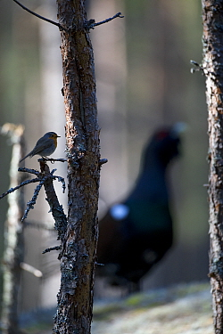Robin (Erithacus rubecula) perched on twig with Capercaillie (Tetrao urogallus) male displaying, Bergslagen, Sweden, May 2009  -  WWE/ E. Haarberg/ npl