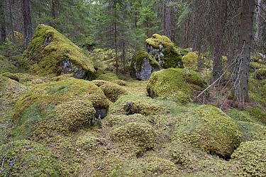 Spruce forest with mosses, Bergslagen, Sweden, May 2009  -  WWE/ E. Haarberg/ npl