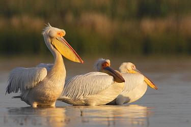 Three Eastern white pelicans (Pelecanus onolocratus) in the Danube Delta, Romania, May 2009  -  WWE/ Presti/ npl
