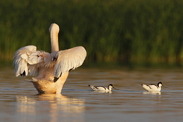 Rear view of an Eastern white pelican (Pelecanus onolocratus) stretching its wings, with two Avocets (Recurvirostra avosetta) Danube Delta, Romania, May 2009  -  WWE/ Presti/ npl