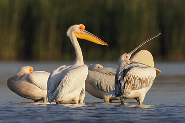 Four Eastern white pelicans (Pelecanus onolocratus) one with throat sac inverted, Danube Delta, Romania, May 2009  -  WWE/ Presti/ npl