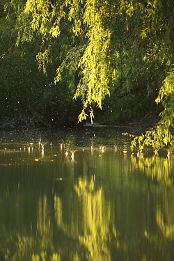 Danube Delta with water dripping from trees, Romania, May 2009  -  WWE/ Presti/ npl