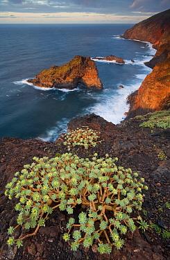 Sweet tabaiba, Tabaiba dulce (Euphorbia balsamifera) growing on cliff top, Punta Gorda coast protected area, Northwest La Palma, Canary Islands, Spain, March 2009  -  WWE/ Relanzon/ npl