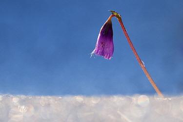 Dwarf snowbell (Soldanella pusilla) in flower, growing through ice, Liechtenstein, June 2009  -  WWE/ Giesbers/ npl