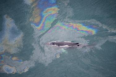 Aerial view of Humpback whale (Megaptera novaeangliae) swimming through oil slick, Skjalfandi Bay, Northern Iceland, July 2009  -  WWE/ Carwardine/ npl
