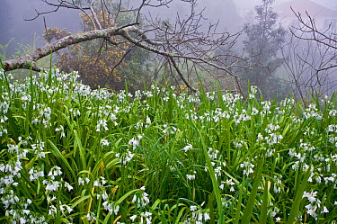 Three-cornered garlic (Allium triquetrum) flowering, Madeira, March 2009  -  WWE/ Radisics/ npl