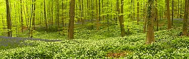 Wild garlic (Allium ursinum) and Bluebell (Hyacinthoides non-scripta, Endymion non-scriptum) carpet in Beech wood, Hallerbos, Belgium, April 2009 WWE BOOK  -  WWE/ Biancarelli/ npl