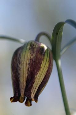 (Fritillaria messanensis) flower, Prina, Crete, Greece, April 2009  -  WWE/ Lilja/ npl