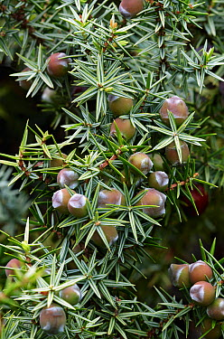 Prickly juniper (Juniperus oxycedrus) with berries, Falassarna, Crete, Greece, April 2009  -  WWE/ Lilja/ npl