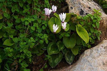Cyclamen (Cyclamen persicum) in flower, Akamas peninsula, Cyprus, May 2009  -  WWE/ Lilja/ npl