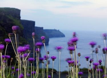 Melancholy thistle (Cirsium heterophyllum) flowers, Cliffs of Moher, County Clare, Ireland, June 2009  -  WWE/ Hermansen/ npl