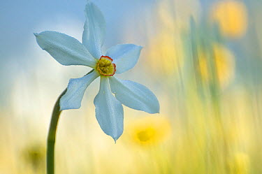 Poet's daffodil (Narcissus poeticus) in flower, Sibillini NP, Italy, May 2009 WWE BOOK WWE INDOOR EXHIBITION  -  WWE/ Muller/ npl