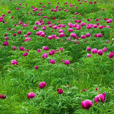 Common peony (Paeonia officinalis) flowers in a meadow, Valle de Canatra, Sibillini NP, Italy, May 2009 WWE BOOK  -  WWE/ Muller/ npl