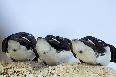 Rear view of three Little auks (Alle alle) on rock, Fuglesangen, Svalbard, Norway, June 2008  -  WWE/ de la Lez/ npl