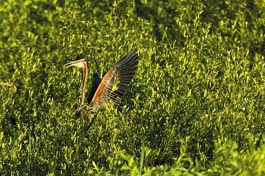 Purple heron (Ardea purpurea) stretching wings calling, Krapje dol heronry, near Krapje village, Lonjsko Polje Nature Park, Sisack-Moslavina county, Slavonia region, Posavina area, Croatia, June 2009  -  WWE/ della Ferrera/ npl