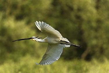 Spoonbill (Platalea leucorodia) in flight carrying nesting material, over the Krapje dol heronry, near Krapje village, Lonjsko Polje Nature Park, Sisack-Moslavina county, Slavonia region, Posavina are...  -  WWE/ della Ferrera/ npl