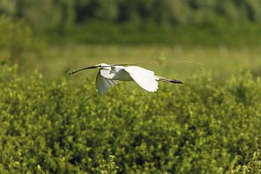Great white heron (Casmerodius albus, Egretta alba) in flight carrying nesting material, over the Krapje dol heronry, near Krapje village, Lonjsko Polje Nature Park, Sisack-Moslavina county, Slavonia...  -  WWE/ della Ferrera/ npl