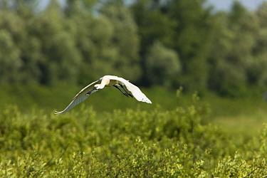 Spoonbill (Platalea leucorodia) in flight over Krapje dol heronry, near Krapje village, Lonjsko Polje Nature Park, Ramsar Site, Sisack-Moslavina county, Slavonia region, Posavina area, Croatia, June 2...  -  WWE/ della Ferrera/ npl
