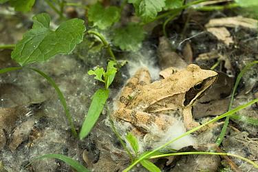 Agile frog (Rana dalmatina) in the undergrowth, with some white willow achenes, Sava river oxbow, near Puska village, Lonjsko Polje Nature Park, Croatia, June 2009  -  WWE/ della Ferrera/ npl
