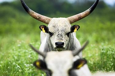 Slavonian Syrmian cattle (rare breed) in meadow between Krapje and Drenov Bok, Lonjsko Polje Nature Park, Sisack-Moslavina county, Slavonia region, Posavina area, Croatia, June 2009  -  WWE/ della Ferrera/ npl