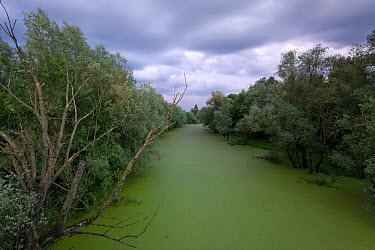 Common duckweed (Lemna minor) covering a water channel at dusk, riparian forest mainly consisting of Willow trees (Salix sp) Lonjsko Polje Nature Park, Sisack-Moslavina county, Slavonia region, Posavi...  -  WWE/ della Ferrera/ npl