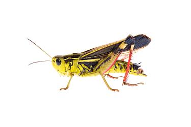 Male Grasshopper (Arcyptera fusca) Fliess, Naturpark Kaunergrat, Tirol, Austria, July 2008 WWE OUTDOOR EXHIBITION NOT AVAILABLE FOR GREETING CARDS OR CALENDARS  -  WWE/ Benvie/ npl