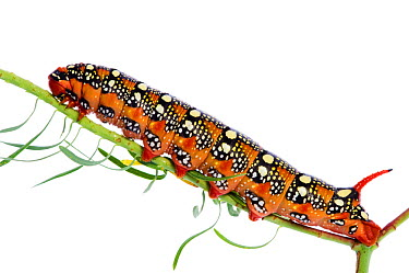 Spurge hawkmoth (Hyles euphorbiae) caterpillar on plant stem, Fliess, Naturpark Kaunergrat, Tirol, Austria, July 2008 WWE OUTDOOR EXHIBITION NOT AVAILABLE FOR GREETING CARDS OR CALENDARS  -  WWE/ Benvie/ npl