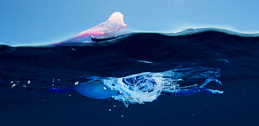 Portuguese man of war (Physalia physalis) at surface, Pico, Azores, Portugal, June 2009  -  WWE/ Lundgren/ npl