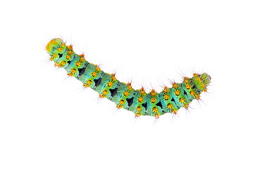 Small emperor moth (Saturnia pavonia) caterpillar, Digne les Bains, France, May 2009 WWE OUTDOOR EXHIBITION NOT AVAILABLE FOR GREETING CARDS OR CALENDARS  -  WWE/ Benvie/ npl